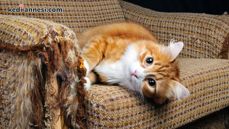 kedi-sahiplenme-kedi-sahiplenmek-kediler-koltuklara-zarar-verir-mi