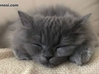 kedilerin-temel-ihtiyaclari-uyuyan-scotish-straight-longhair