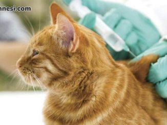 kedi-asisi-kedi-asilari-kediasi-fiyatları-2019