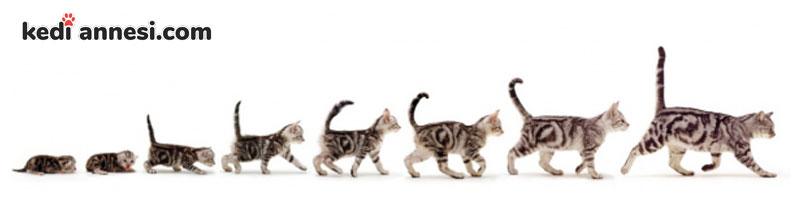 bir-kedinin-kac-yasinda-oldugu-nasil-anlasilir