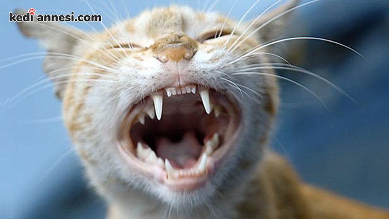 kedilerin-yasi-nasil-anlasilir-kedilerin-dis-yapisi