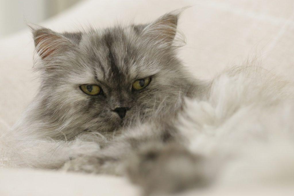 uzun-tuylu-kedi