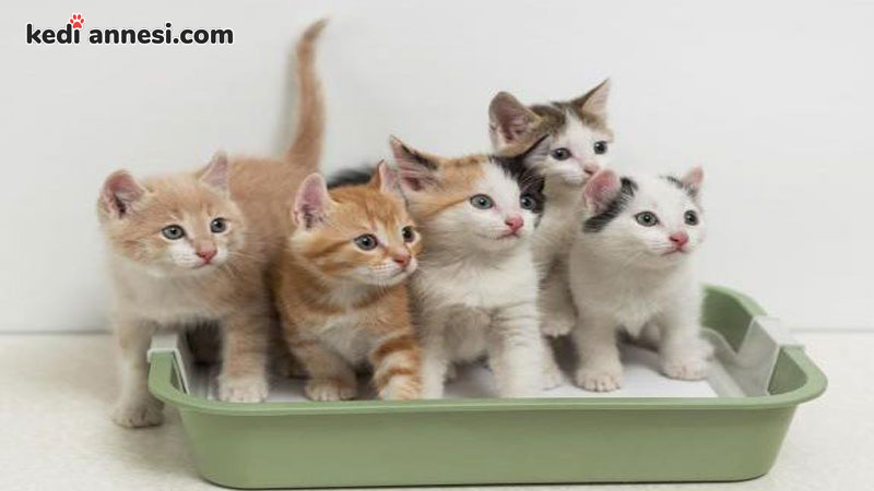 yavru-kedilerde-tuvalet-eğitimi-yavru-kedilerde-kum-egitimi