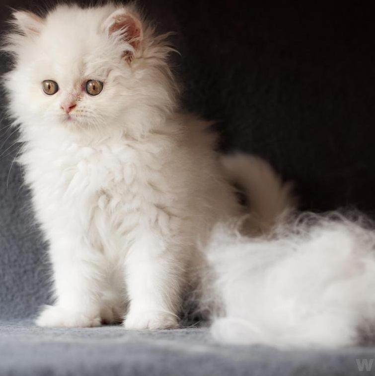 yavru-kedilerde-tuy-dokulmesi