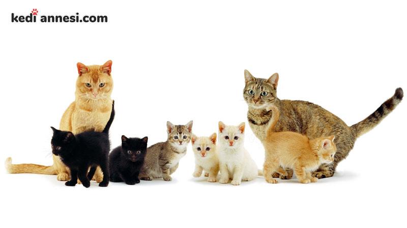 disi-kedilerde-ciftlesme-donemi-kedi-ailesi
