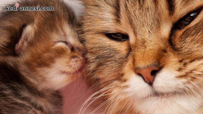 disi-kedilerde-kizginlik-donemi-kedi-ve-kedi-yavrusu-yavru-kedi