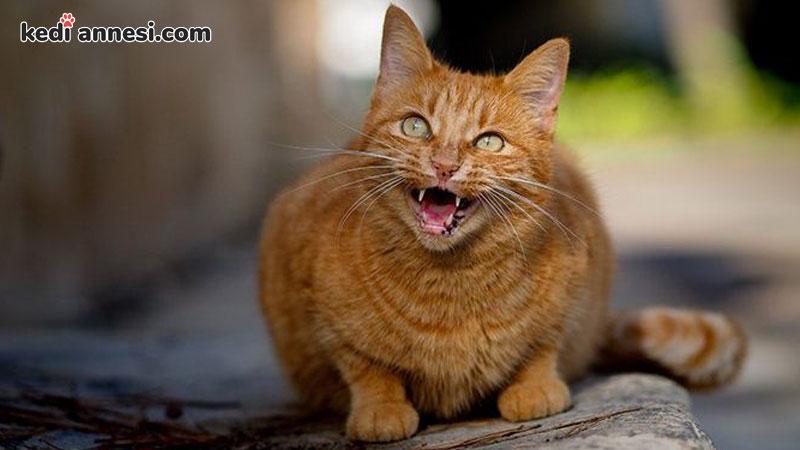 disi-kedilerde-kizginlik-donemi-kediler-surekli-miyavlar