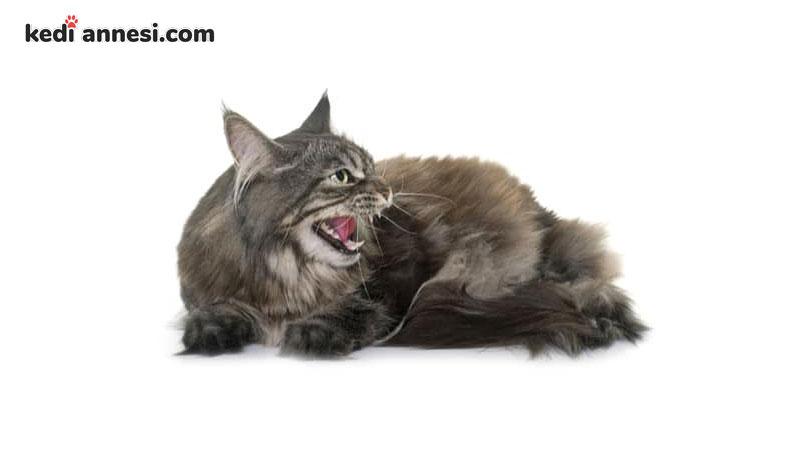 erkek-kedilerde-kizginlik-donemi-7
