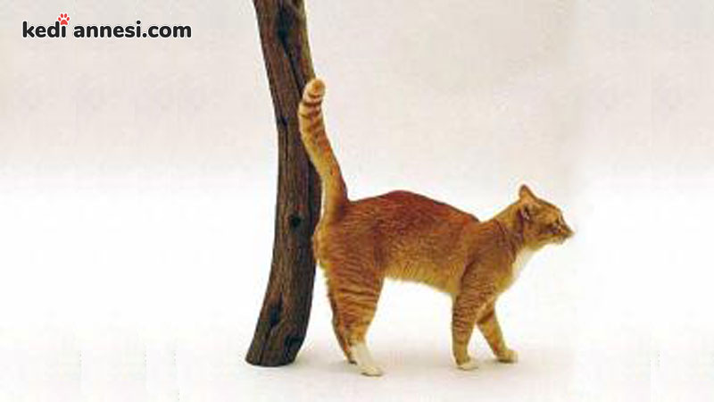 erkek-kedilerde-idrar-puskurtme