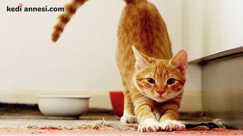kedilerde-kizginlik-donemi-kizisma-donemi-kizginlik-donemindeki-kedi-nasil-davranir