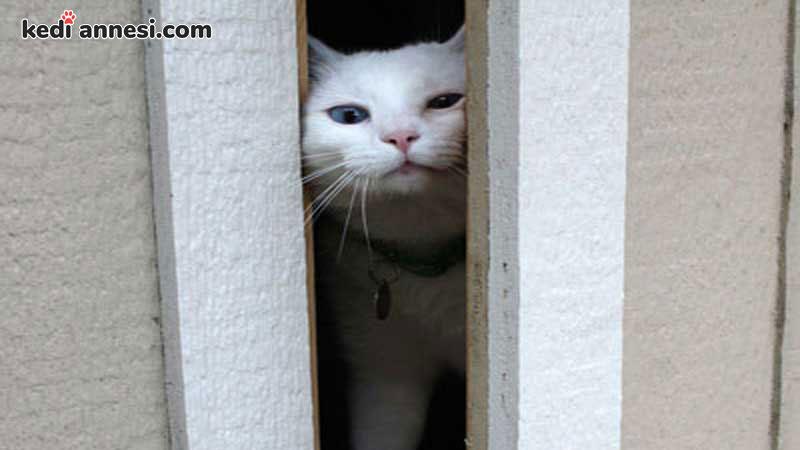kedilerde-kizginlik-donemi-evden-kacan-kediler-kedilerde-kizginlik-belirtileri