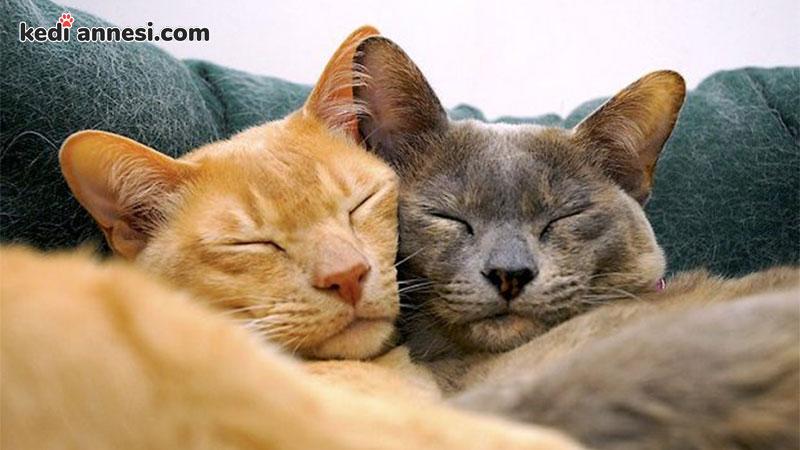 iki-kediyi-birbirine-alistirma-iki-kedinin-birbirine-alisma-suresi