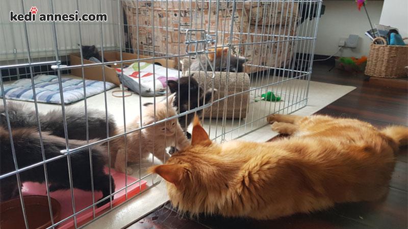 iki-kediyi-birbirine-alistirma-kedi-yavrulama-kafesi