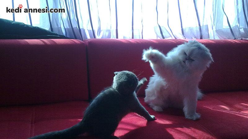 iki-kediyi-birbirine-alistirma-tanisma-ani-gerginligi