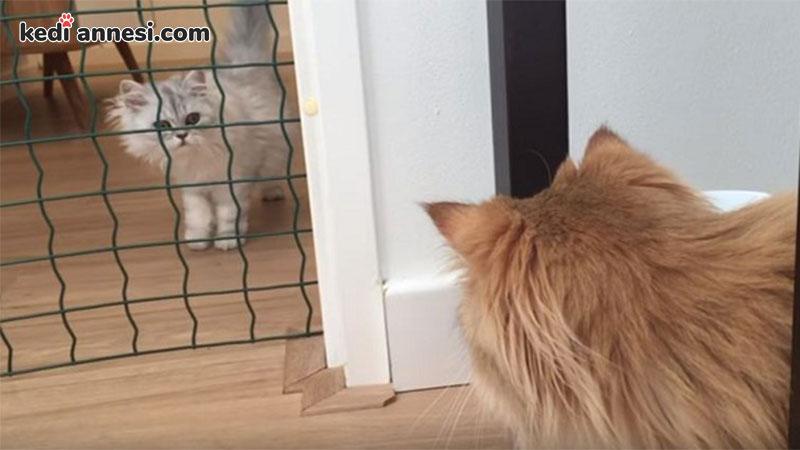 iki-kediyi-birbirine-alistirma-tanisma-ani