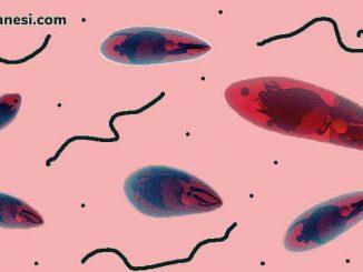 toksoplazma nedir